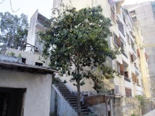 medlar-tree-lebanon4