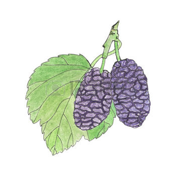 45485044-mulberry-hand-drawn-berries-real-watercolor-drawing-vector-illustration-traced-painting