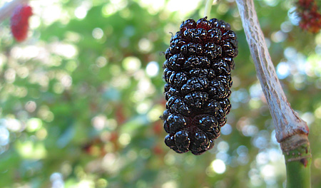 mulberry-on-tree