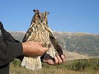 200px-Long_eared_owl