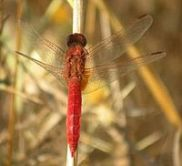 200px-Scarlet_dragonfly