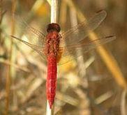 200px-Scarlet_dragonfly