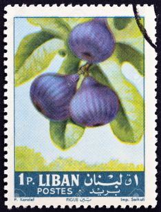 42130830-LEBANON-CIRCA-1962-A-stamp-printed-in-Lebanon-from-the-Fruits-issue-shows-figs-Ficus-carica-circa-19-Stock-Photo