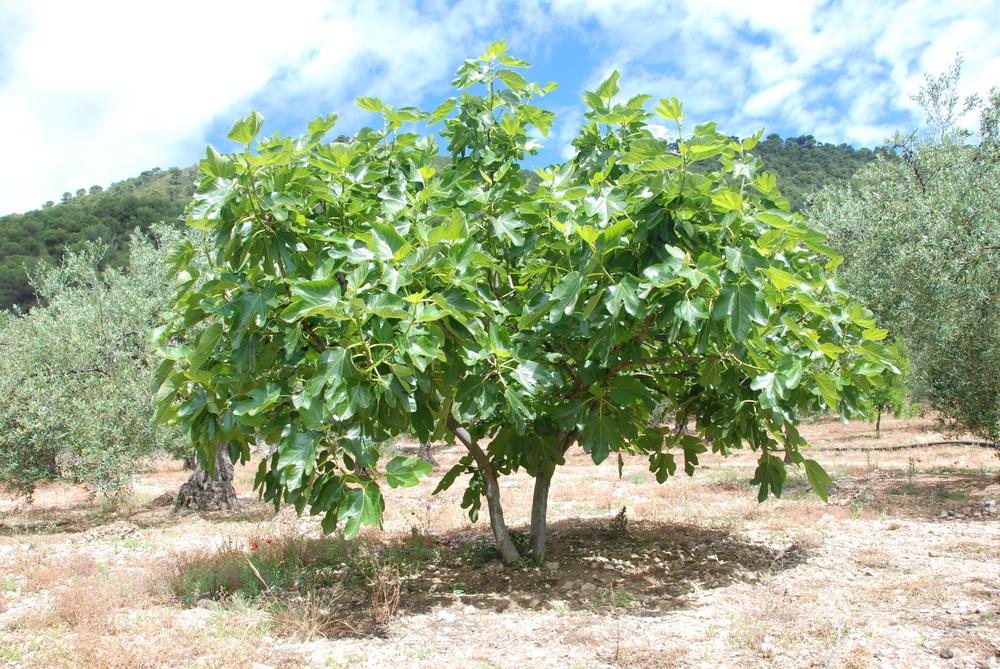 Bildergebnis für fig tree images