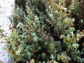 za'atar plant