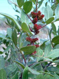 663-pistacia-lentiscus