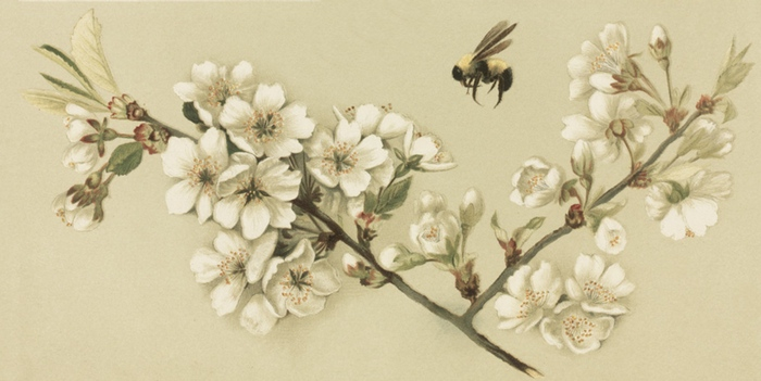 honey-bee-cherry-blossoms