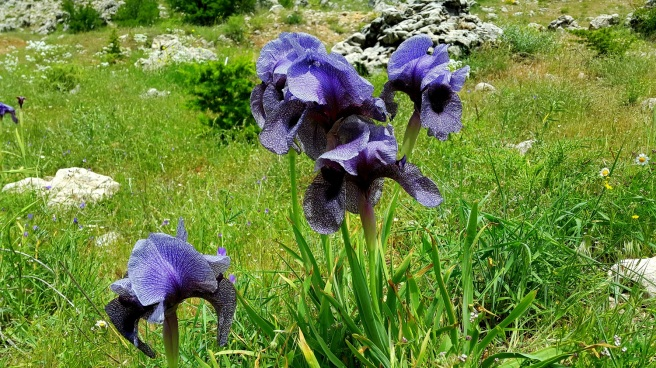 iris-sofrana-6